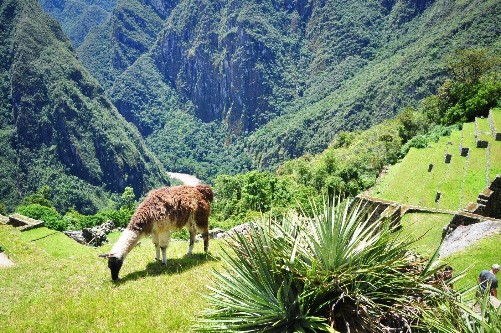 Lama, Machu Picchu Machu Picchu