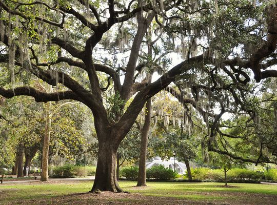 Arbre de Savannah