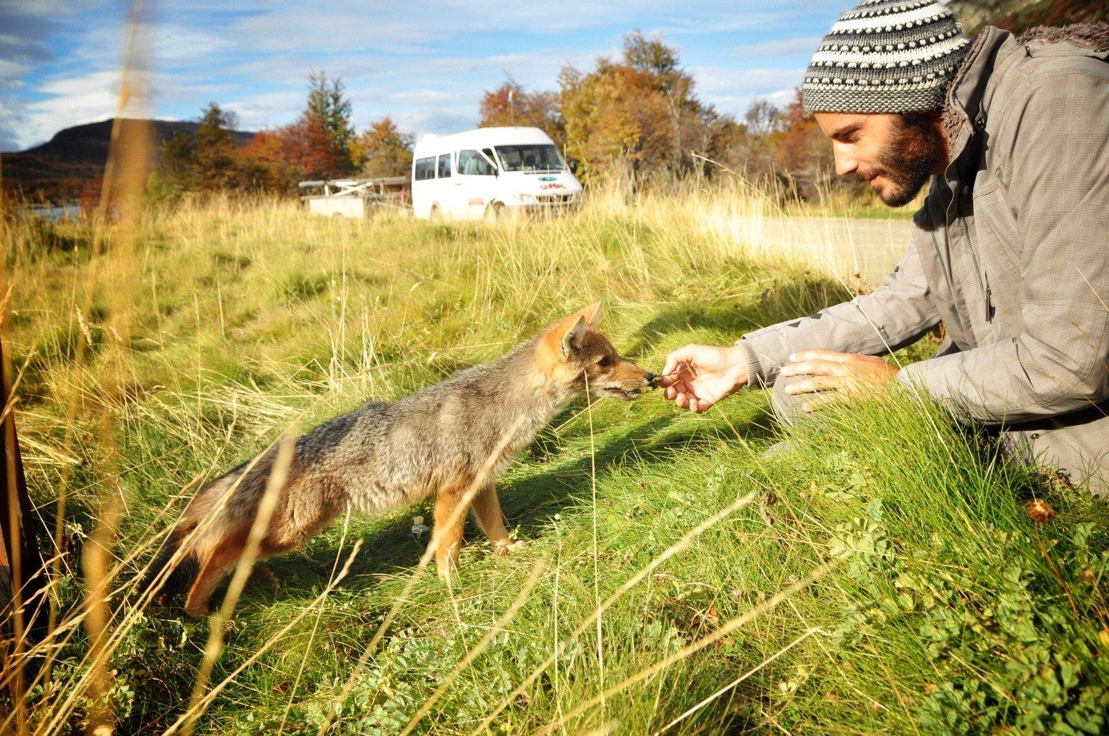 Fox. Terra de fuego. Parc Tierra del Fuego