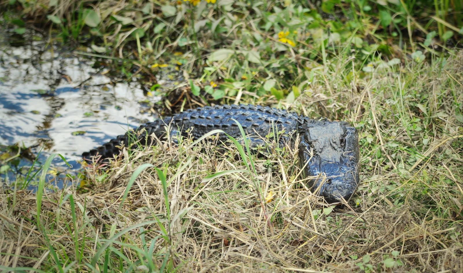 Alligator en Louisiane Lafayette