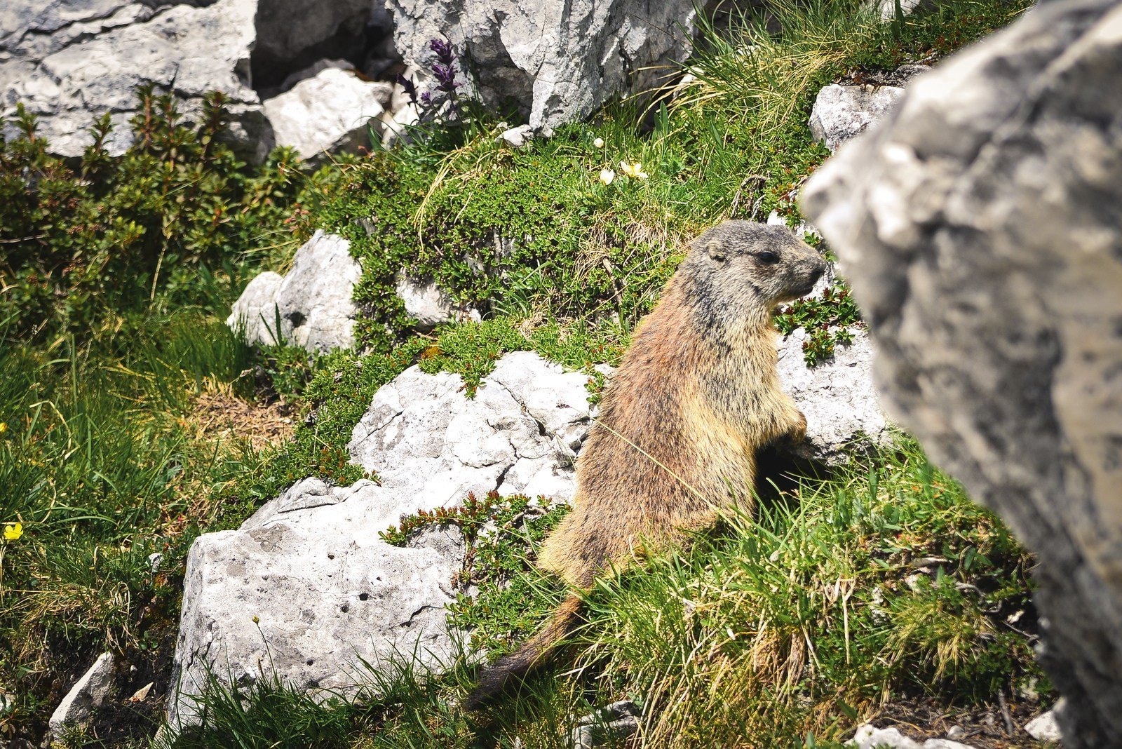 Marmotte des Dolomites Parco naturale Tre Cime