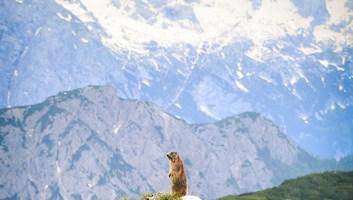 Marmotte a l affut alpes italiennes