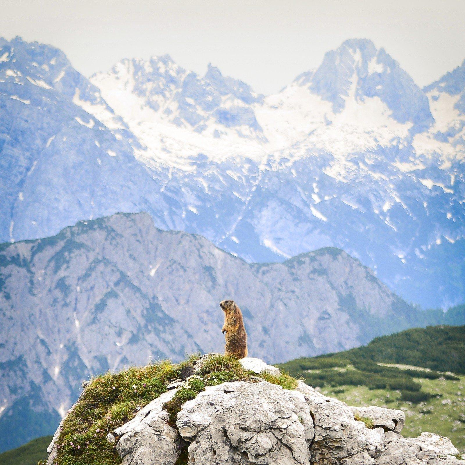 Marmotte à l'affut, Alpes Italiennes Parco naturale Tre Cime
