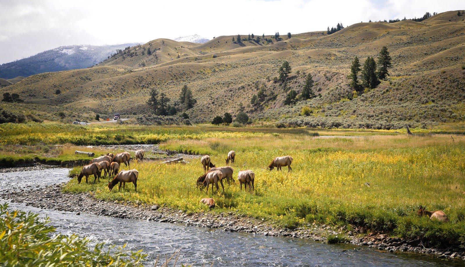 Troupeau de Wapitis Yellowstone