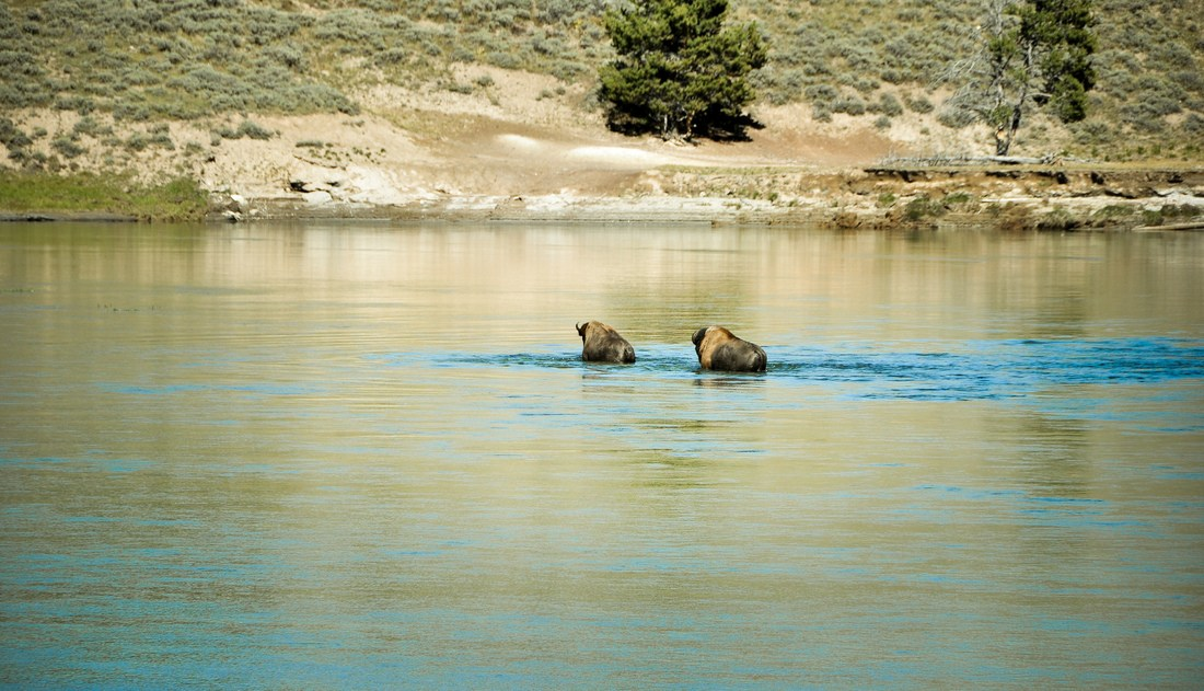 Bisons nageant dans la Yellowstone River