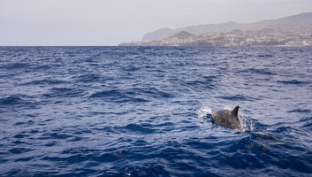 Voir les dauphins a madere