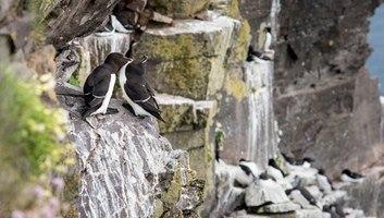 Pingouins torda