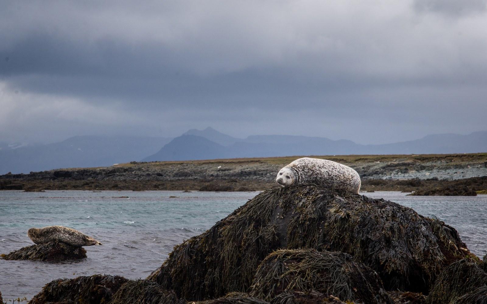 Deux phoques sur leurs rochers  Ytri Tunga