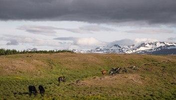 Chevaux islandais sur stykkisholmur