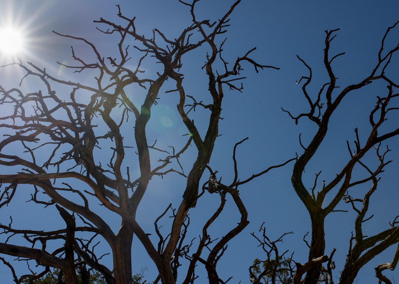 Arbre mort, à contre jour  Canyonlands