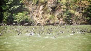Envol d oiseaux au canyon del sumidero