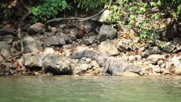 Crocodile gris canyon del sumidero
