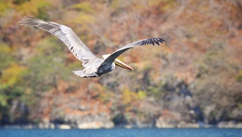 Pelican au canyon du sumidero