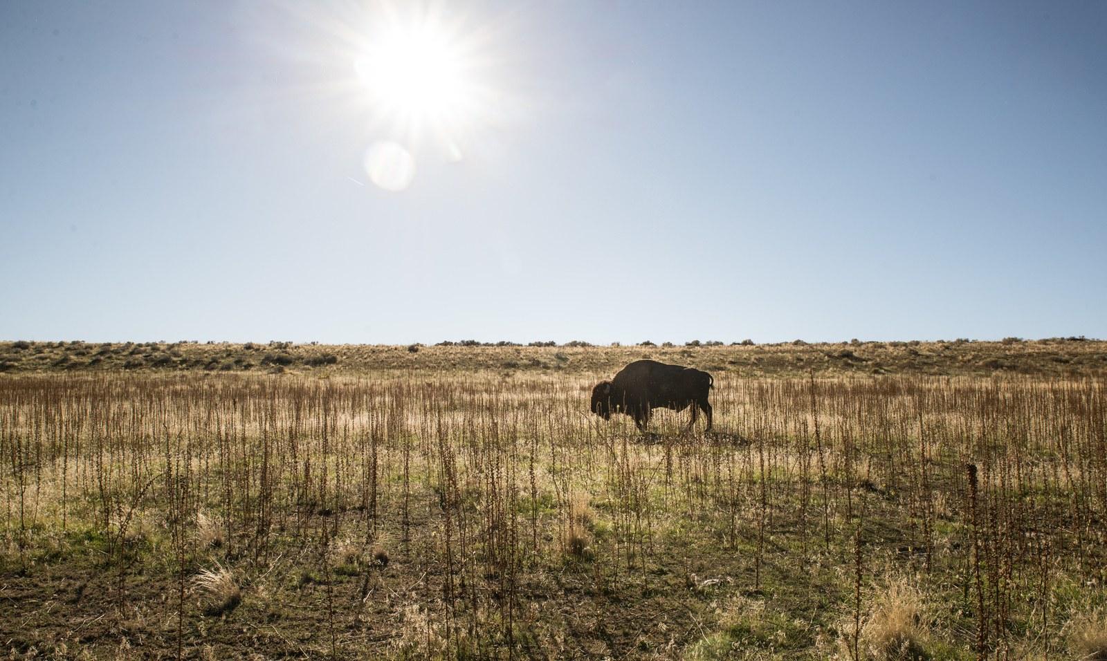 Bison d'Antelope Island  Antelope Island