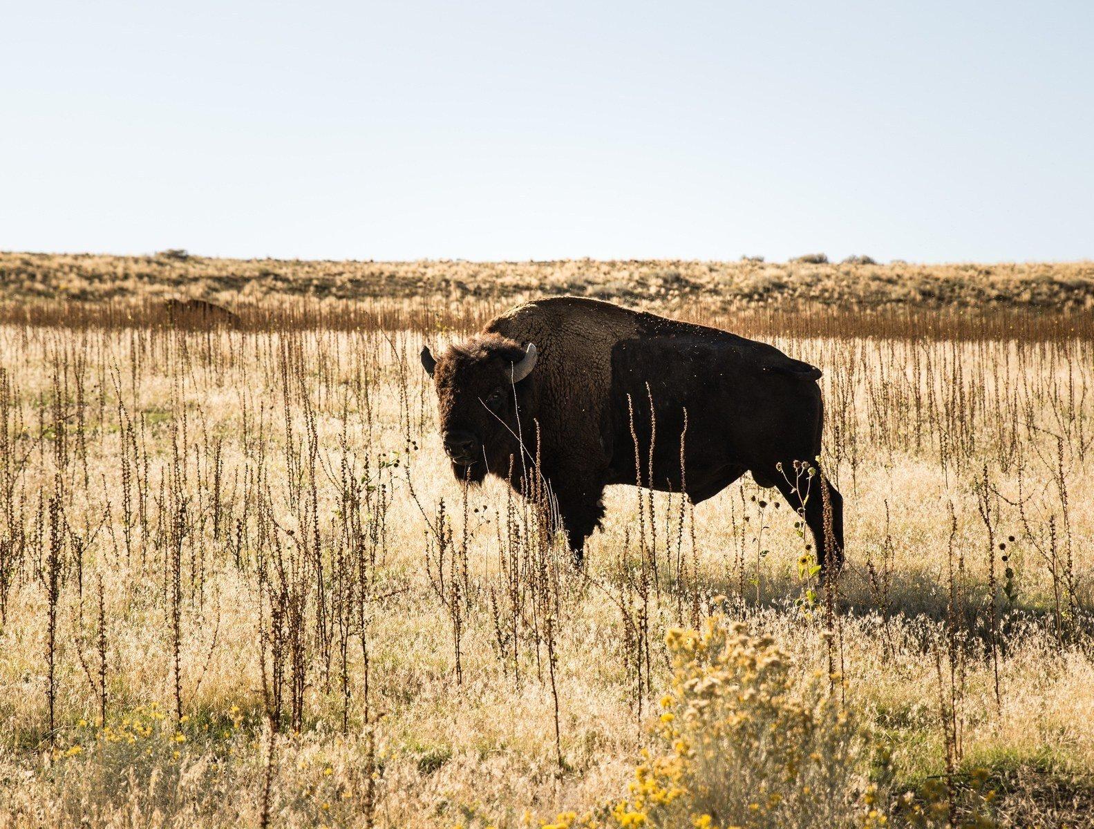 Un des nombreux bisons Antelope Island