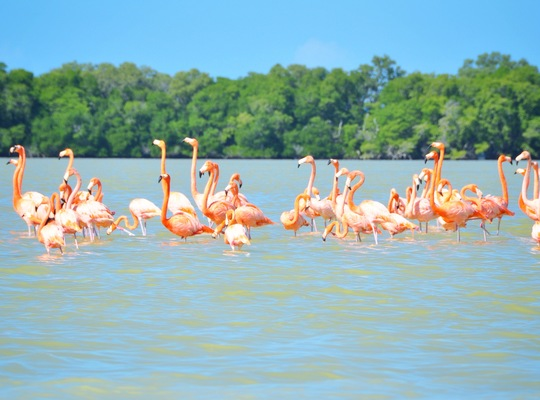Flamants roses, Celestun, Mérida