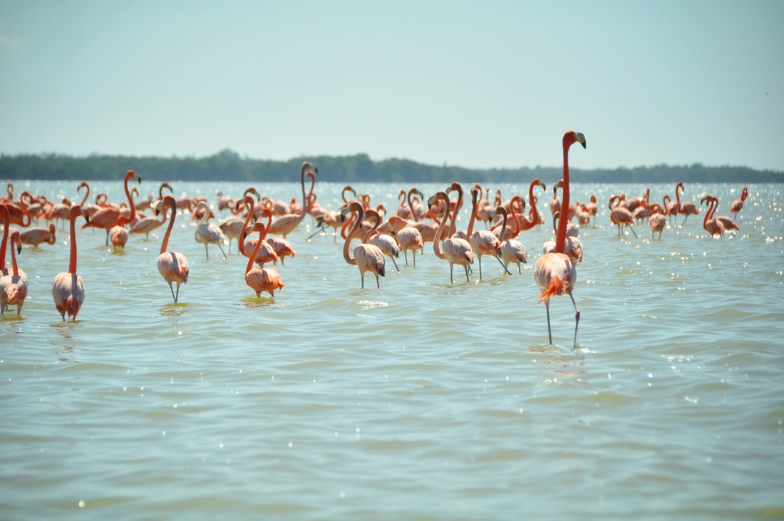 Celestun, flamants roses