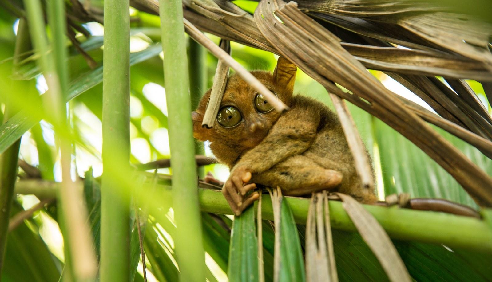 Hello petit tarsier  Sanctuaire des tarsiers
