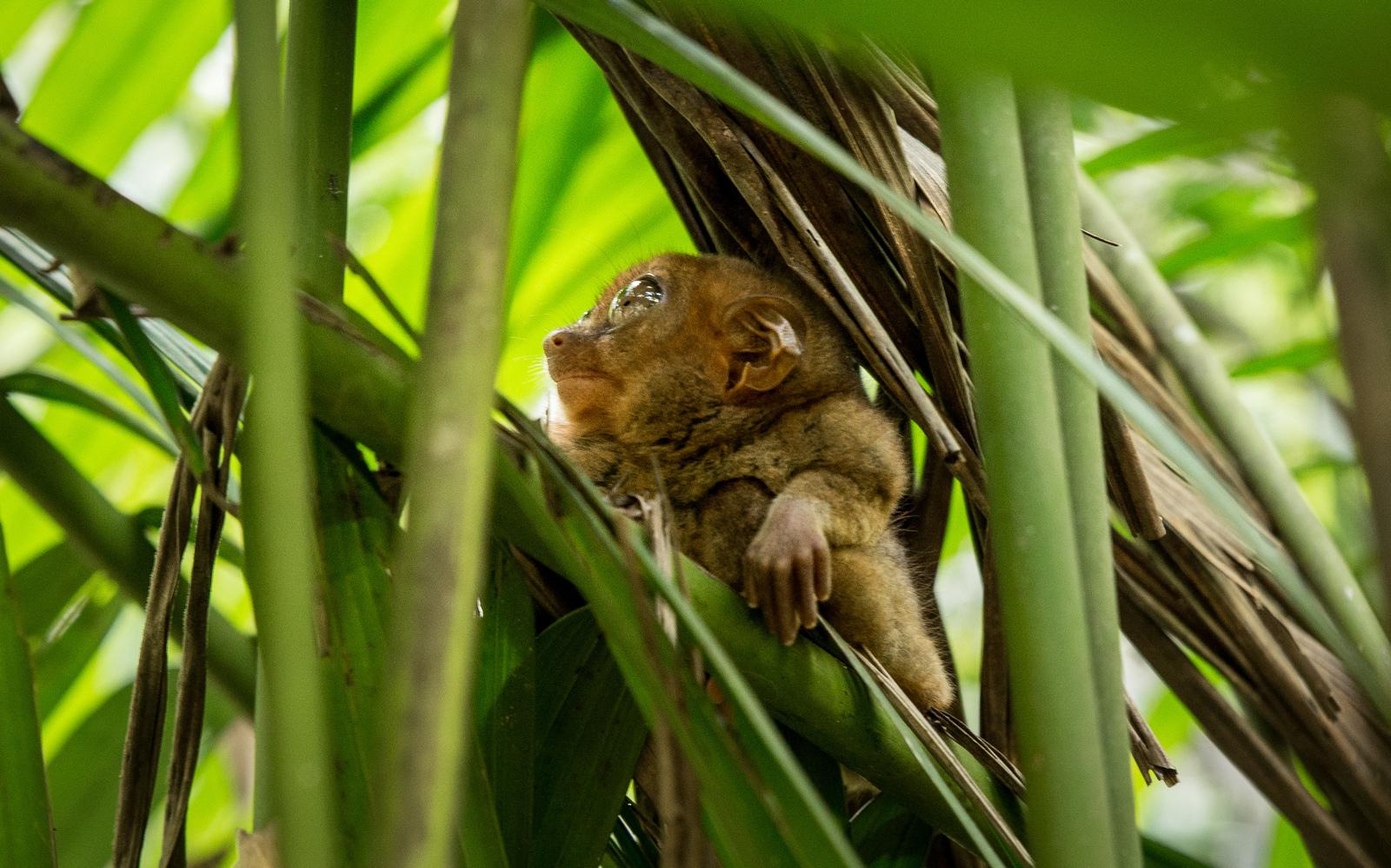 Tarsier à Bohol Sanctuaire des tarsiers