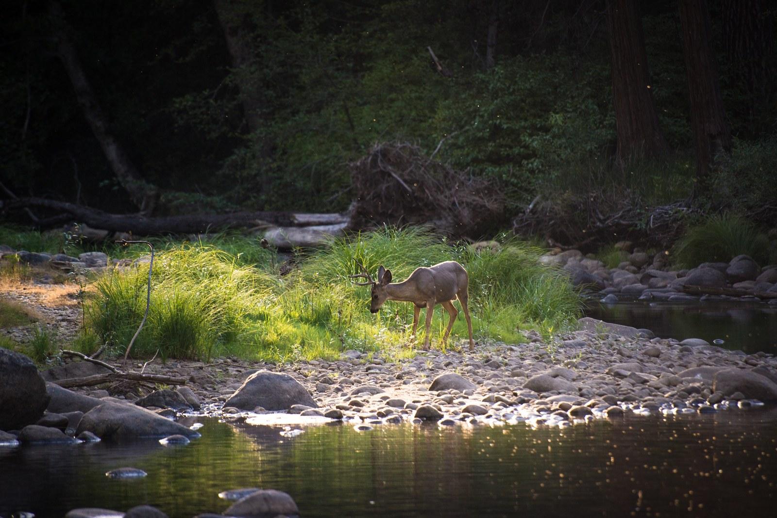 Un cerf, près de Mercer River, Yosemite Yosemite