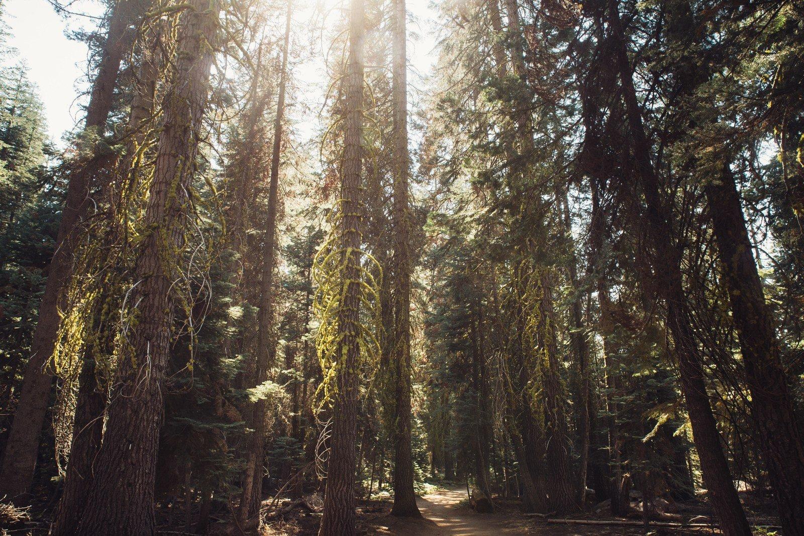 Sequoia géants à Yosemite Yosemite