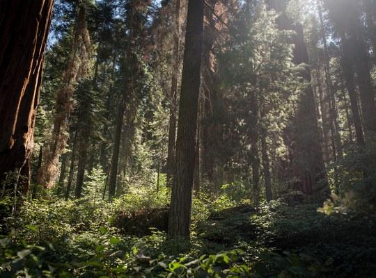 Foret sequoia np californie