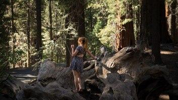 Souches immense d un sequoia