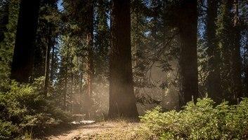 Dans la foret des sequoias geants californie