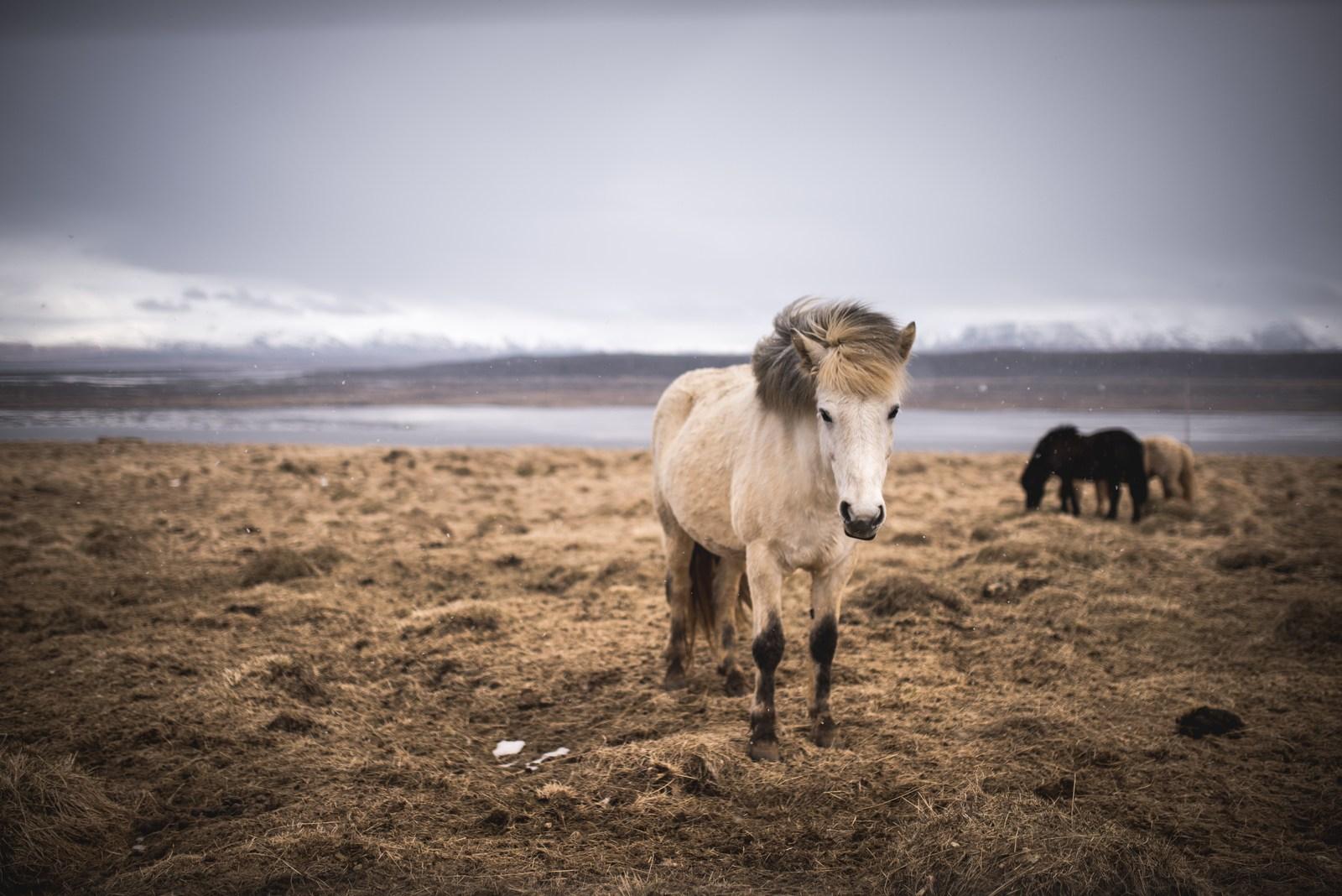 Chevaux Islandais, peninsule Vatnsnes Péninsule du Vatnsnes