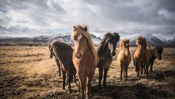 Chevaux islandais croises dans le sud