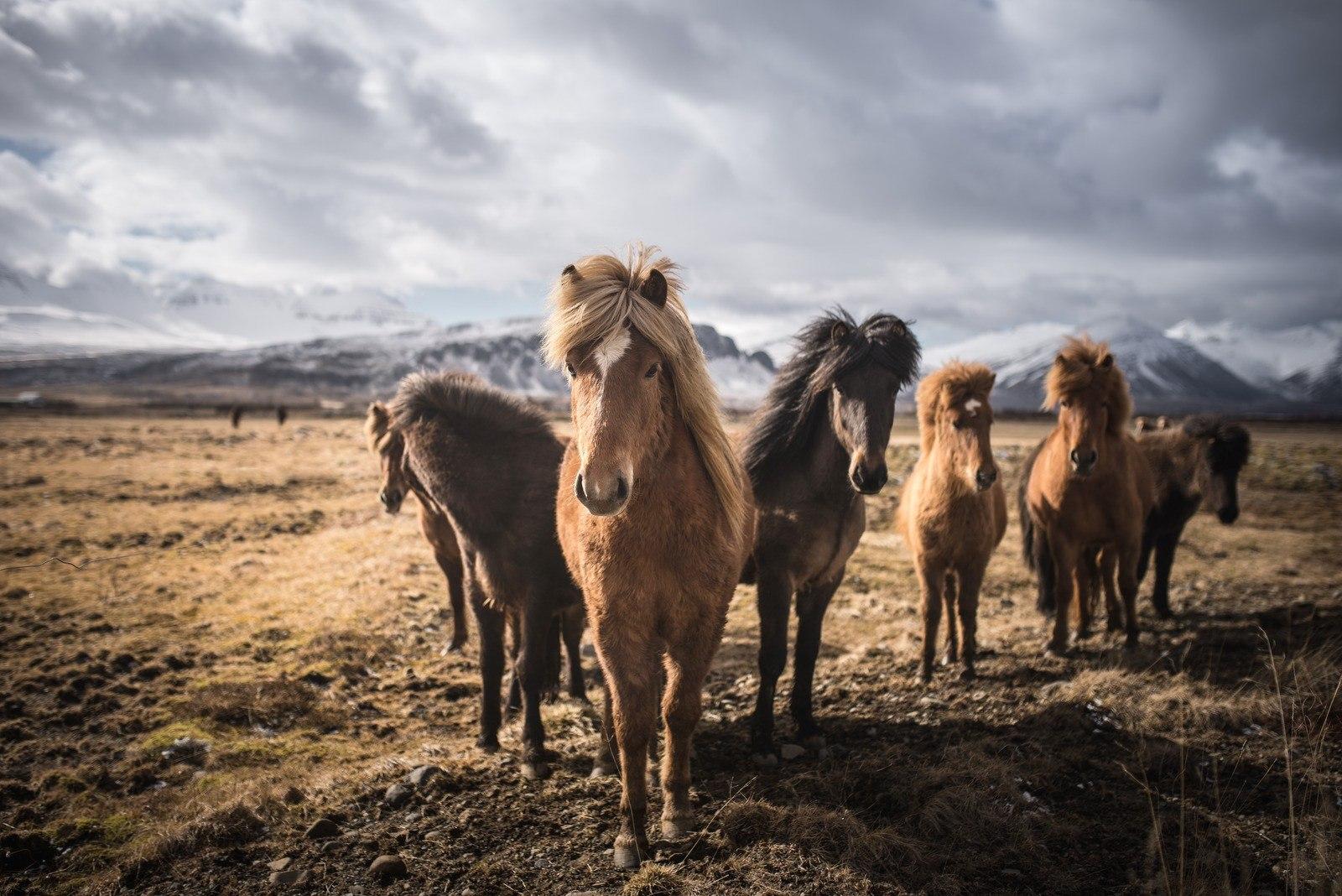 Chevaux islandais croisés dans le sud
