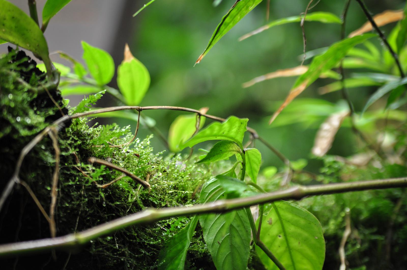 Végétation du volcan Mombacho, Nicaragua Mombacho