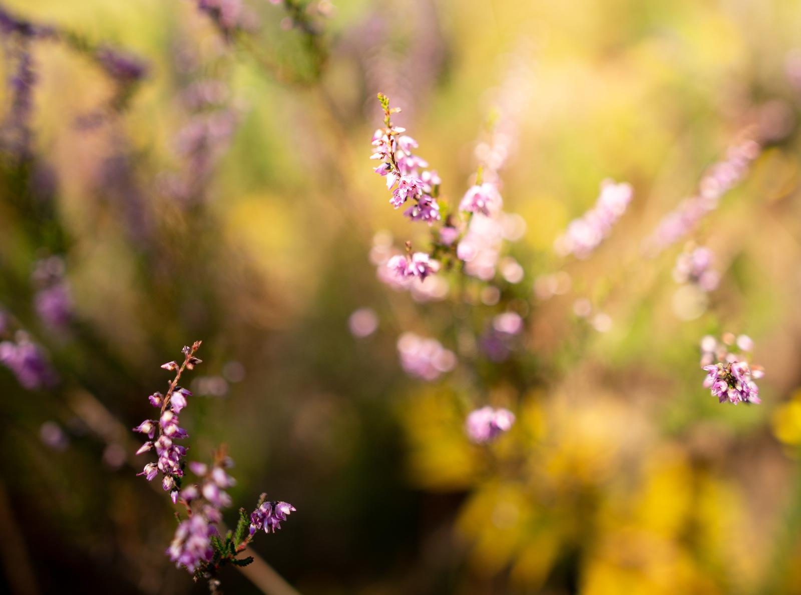 Fleurs des Charentes Guizangeard